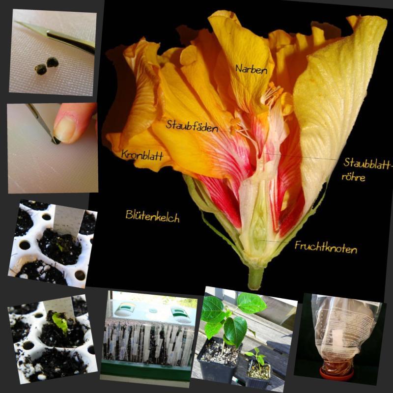 hibiskus pflege hibiskus pflege so f hlt er sich. Black Bedroom Furniture Sets. Home Design Ideas