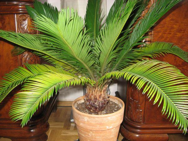 palme wedel gelb ist das normal mein sch ner garten. Black Bedroom Furniture Sets. Home Design Ideas