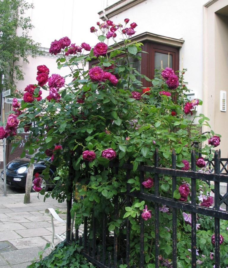 rose violetta mein sch ner garten forum. Black Bedroom Furniture Sets. Home Design Ideas