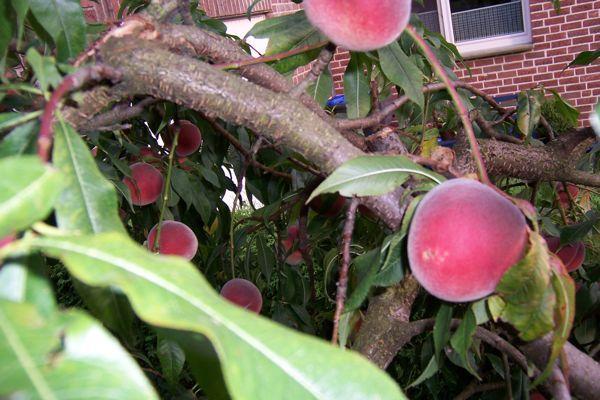 pfirsich schneiden pfirsichbaum schneiden pfirsichbaum schneiden im 3 jahr kappen. Black Bedroom Furniture Sets. Home Design Ideas