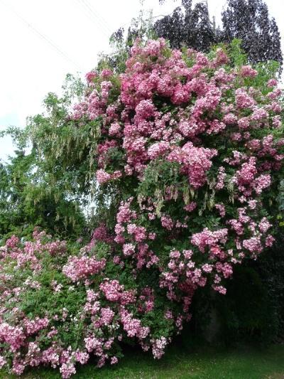 zaun mit kletterrosen/rambler überwuchern lassen - seite 1 - rund, Garten seite