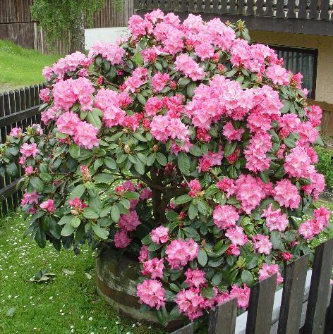 clerotiker juni 2010 seite 38 rund um die rose. Black Bedroom Furniture Sets. Home Design Ideas