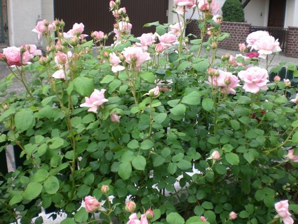 Betreff aw englische rosen
