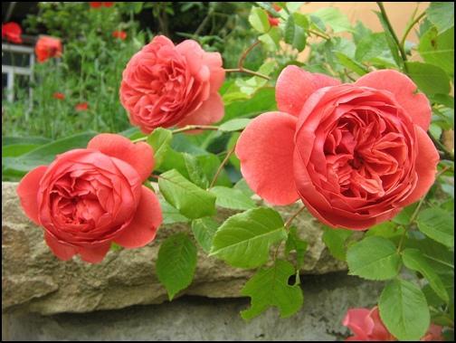 englische rosen hornbach seite 1 rund um die rose. Black Bedroom Furniture Sets. Home Design Ideas