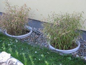 bambus bissetti im topf mein sch ner garten forum. Black Bedroom Furniture Sets. Home Design Ideas