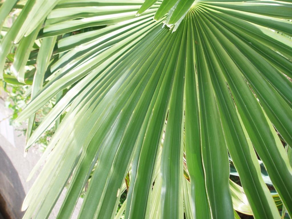 bestimmen palme bilder von hangende pflanzen kopfa ber deko ideen bestimmen bilder pflege. Black Bedroom Furniture Sets. Home Design Ideas