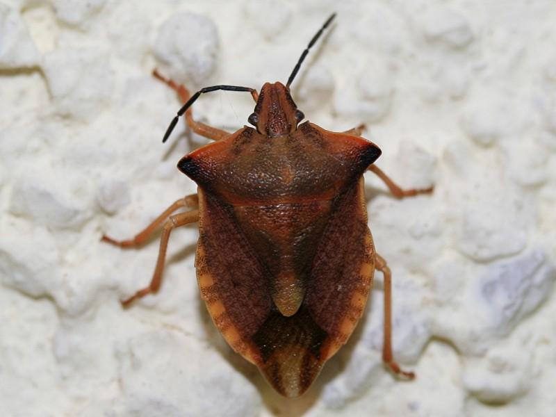 pentatomidae baumwanzen carpocoris fuscispinus hemiptera schnabelkerfe wanzen zikaden. Black Bedroom Furniture Sets. Home Design Ideas