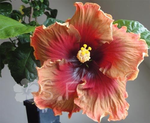 hibiscus midnight serenade