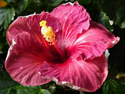 hibiscus night magic
