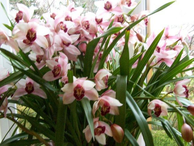 orchidee cymbidium tigrina mein sch ner garten forum. Black Bedroom Furniture Sets. Home Design Ideas