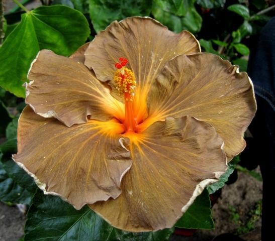 meine hibiskuszucht willkommen in meinem hibiskus und orchideen blog. Black Bedroom Furniture Sets. Home Design Ideas
