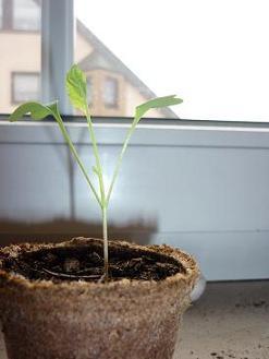 warum wachsen gurken nicht