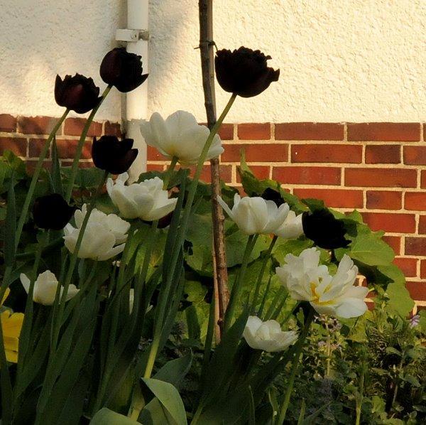 verbl hte tulpen im topf was nun seite 1 gartenpraxis mein sch ner garten online. Black Bedroom Furniture Sets. Home Design Ideas
