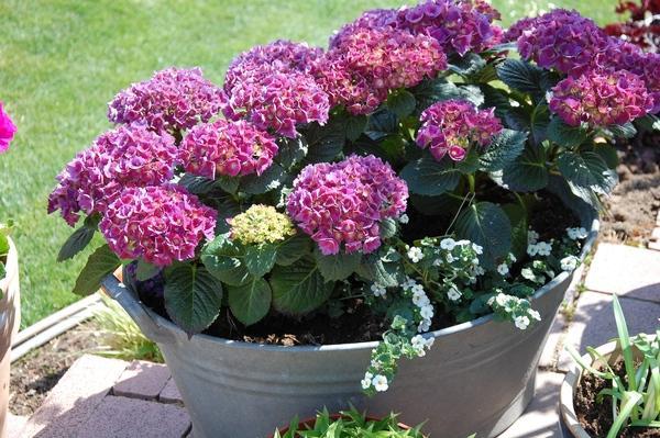 Was hat meine hortensie fotos mein sch ner garten forum for Gartengestaltung zinkwanne