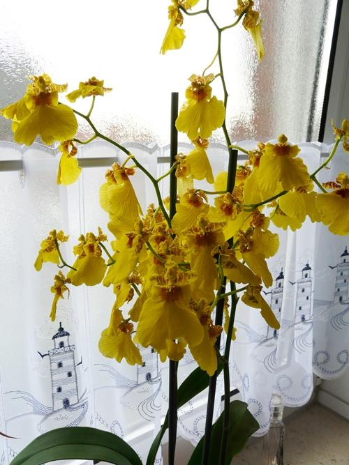wie pflege ich eine orchidee oncidium richtig mein sch ner garten forum. Black Bedroom Furniture Sets. Home Design Ideas