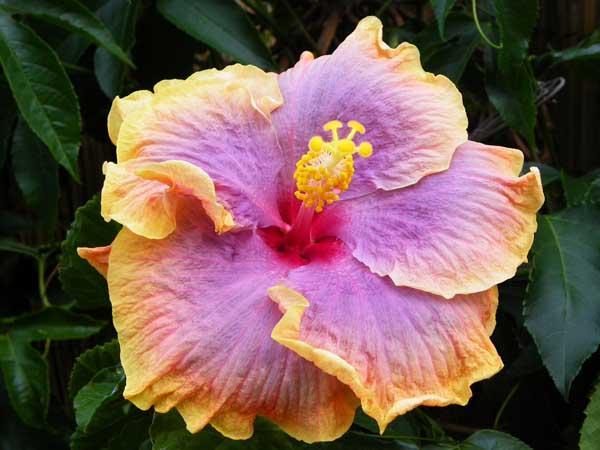 hibiskus hibiscus 2011 2 beliebte pflanzen erfahrungen green24 hilfe pflege bilder. Black Bedroom Furniture Sets. Home Design Ideas