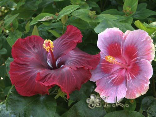 hibiscus black dragon
