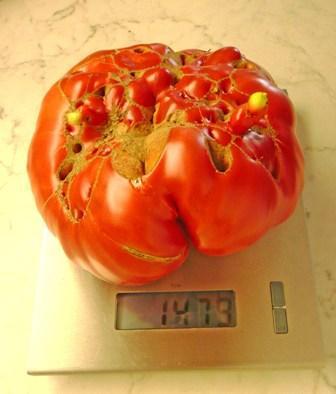 Tomaten 2011 Krautrüben Forum