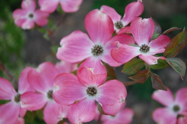 Blumenhartriegel - Mein schöner Garten Forum