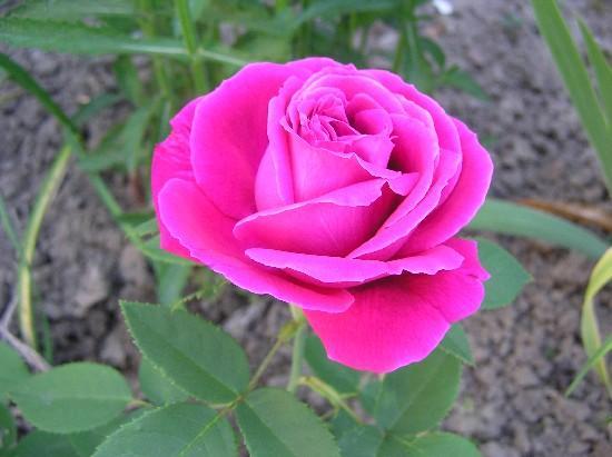 suche eine vergleichbare rose wie charles de mills nur fterbl hend mein sch ner garten forum. Black Bedroom Furniture Sets. Home Design Ideas