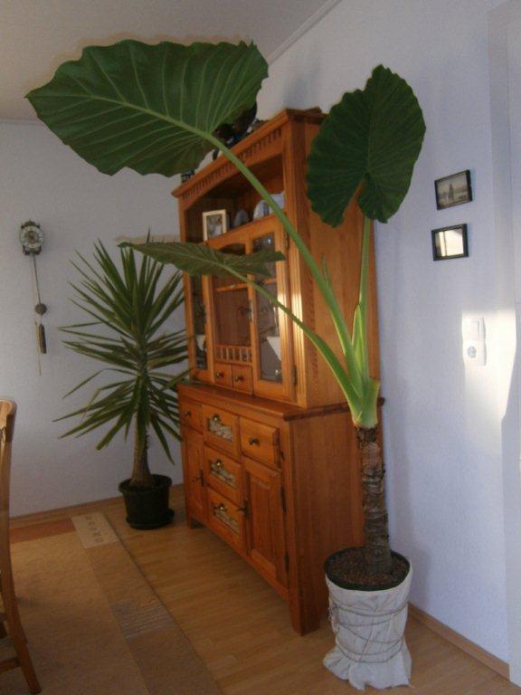 palmen und co hilfe mein elefantenohr weint. Black Bedroom Furniture Sets. Home Design Ideas