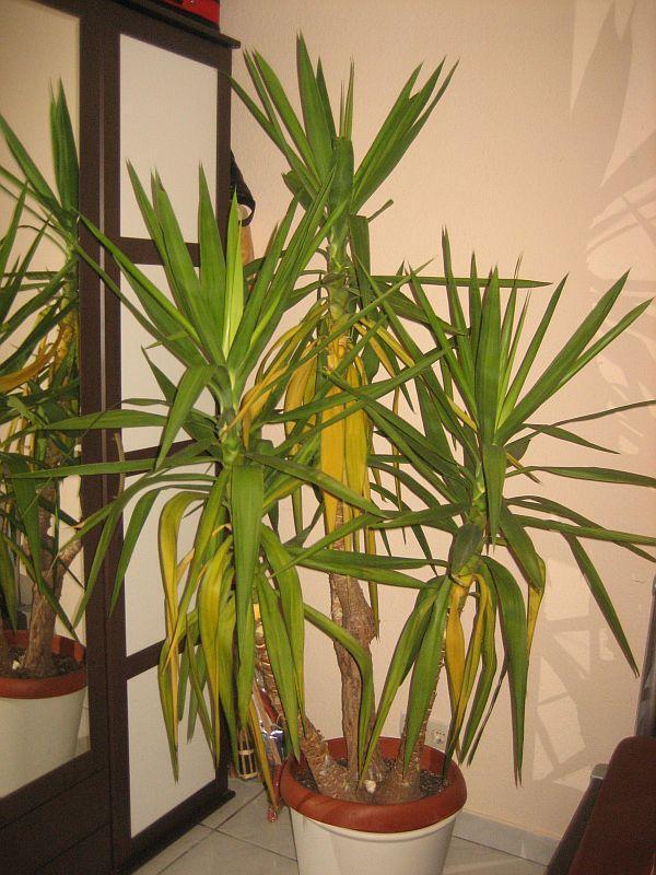 yucca wie pflegen und gr ne bl tter erhalten pflegen schneiden veredeln green24. Black Bedroom Furniture Sets. Home Design Ideas