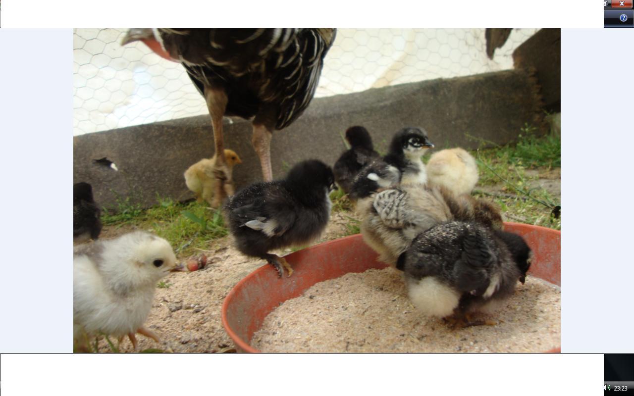 Kümes hayvanı yetiştiriciliği: kazlarda kazanın korunması
