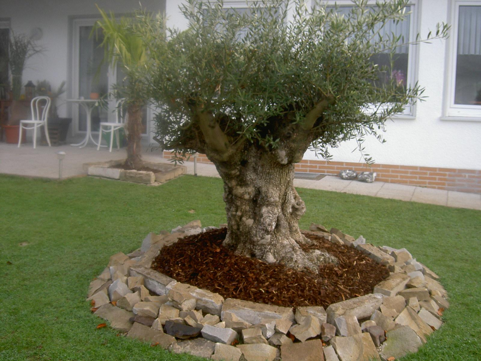 Palmen Und Co. » Soll Ich Bepflanzen? Und Wenn, Wie ?? Terrasse Gestalten Olivenbaum