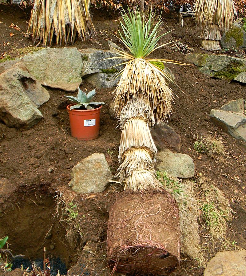 yucca rostrata wie richtig pflegen yuccas agaven cordyline kakteen sukkulenten grasb ume. Black Bedroom Furniture Sets. Home Design Ideas