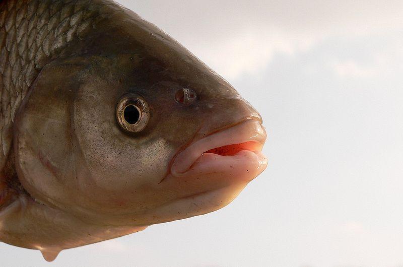 Angelforum thema anzeigen donau flussfische for Goldorfe fisch