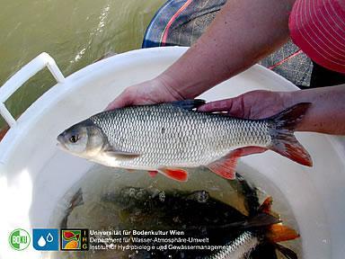 Donau fische arten und unterscheidung die fischarten und for Goldorfe fisch