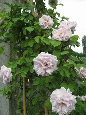 blaue braune rosen morbide rosen 2012 page 3 mein. Black Bedroom Furniture Sets. Home Design Ideas