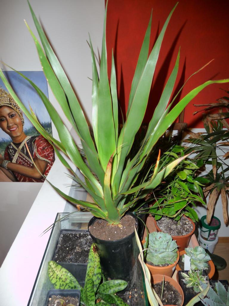 palmen und co kanarischen drachenbaum gekauft. Black Bedroom Furniture Sets. Home Design Ideas