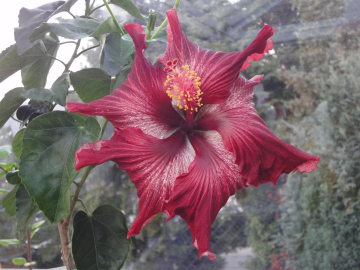 hibiscus dragon´s breath