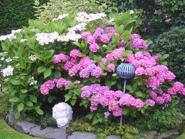 hydrangea hortensien 2012 page 8 mein sch ner garten. Black Bedroom Furniture Sets. Home Design Ideas