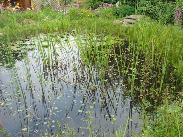 Mein naturteich wuchert zu wie hei en diese pflanzen for Naturteich pflanzen