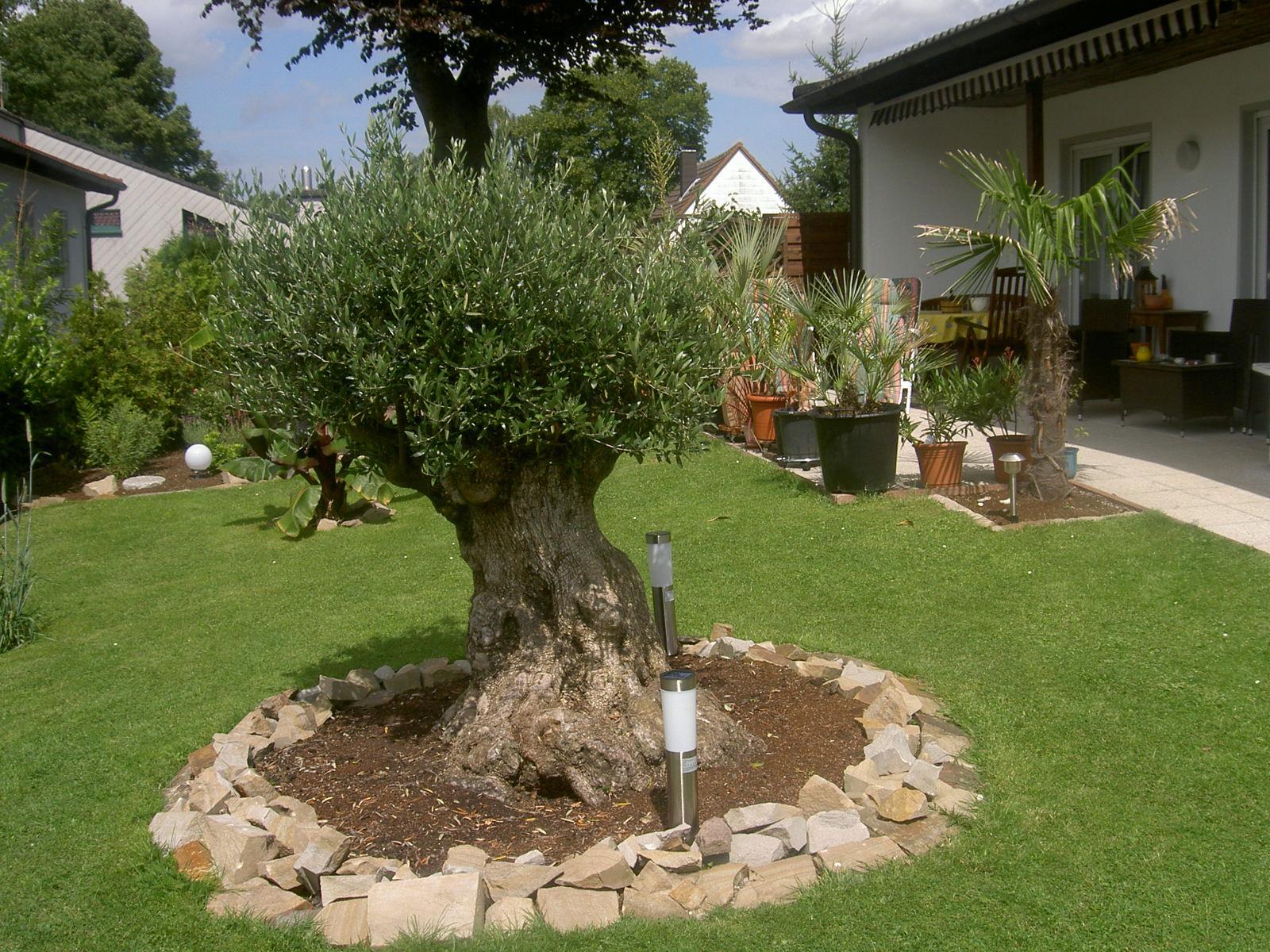 re wer hat erfahrung beim kauf eines alten olivenbaums 6. Black Bedroom Furniture Sets. Home Design Ideas