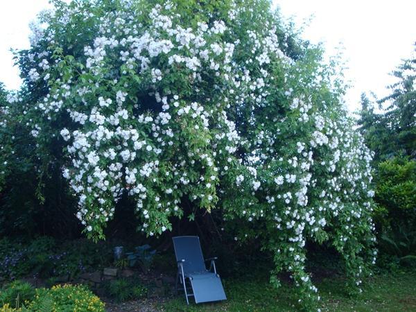 rumbler rosen f r einen wallnussbaum seite 1 rund. Black Bedroom Furniture Sets. Home Design Ideas