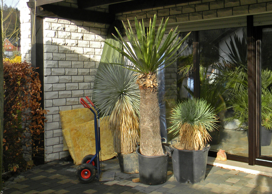 ein kleines yucca update yuccas agaven cordyline. Black Bedroom Furniture Sets. Home Design Ideas