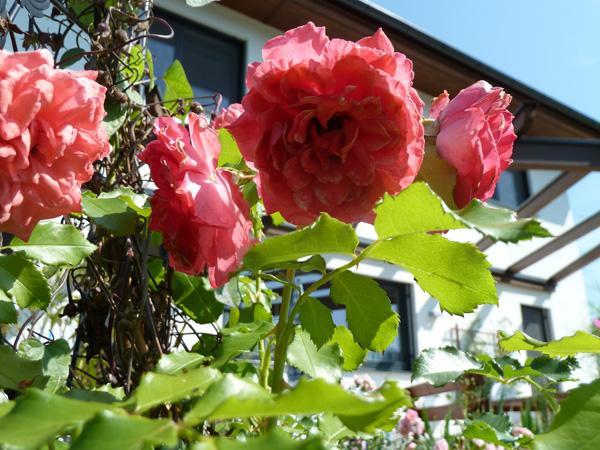 Kletterbogen Für Rosen : Rosen und clematis clerotiker 2013 page 9 mein schöner garten