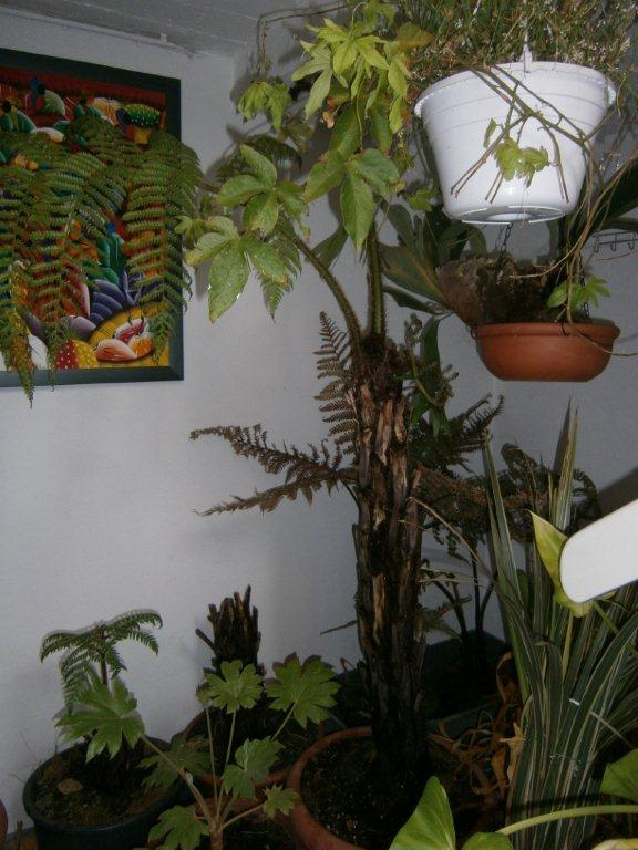 palmen und co baumfarn im winter. Black Bedroom Furniture Sets. Home Design Ideas