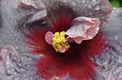 Hibiscus International OCT-NOV-DEC 2012, hibiskus wunder