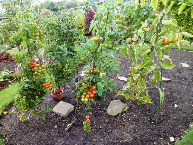 regenschutz f r tomaten tomatendach als regenschutz wissenswertes noppenfolie im hochbeet ja. Black Bedroom Furniture Sets. Home Design Ideas