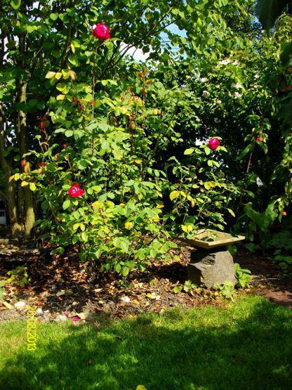 Rose Benjamin Britten Mein Sch Ner Garten Forum