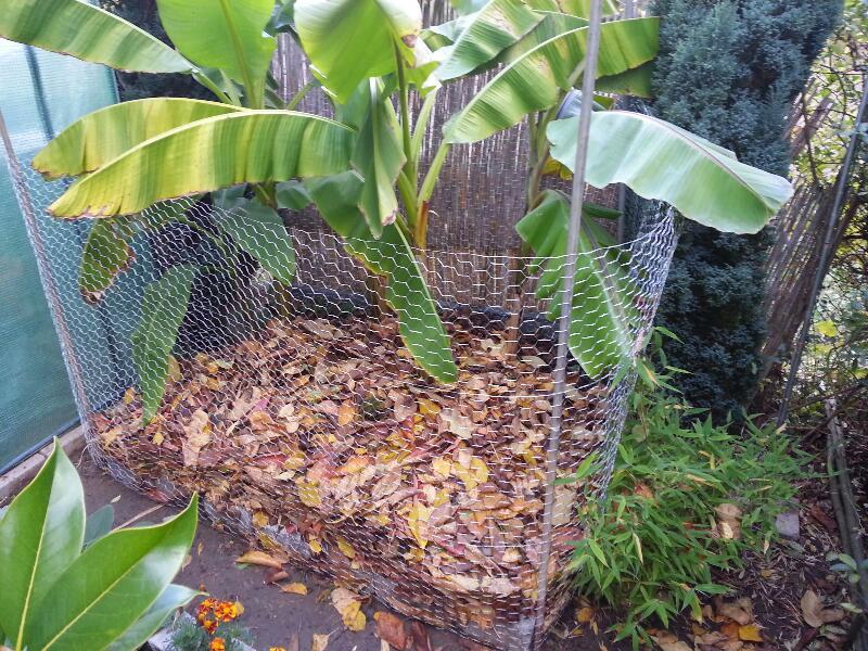 Bananengewächse (Musaceae) - Seite 2 Clm929xolkxlk6kth