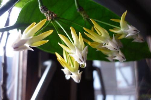Hoya multiflora Cmtxbruwdh67tai95