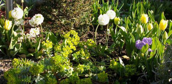 Selbstaussaat Von Euphorbia Myrisintis Mein Sch Ner