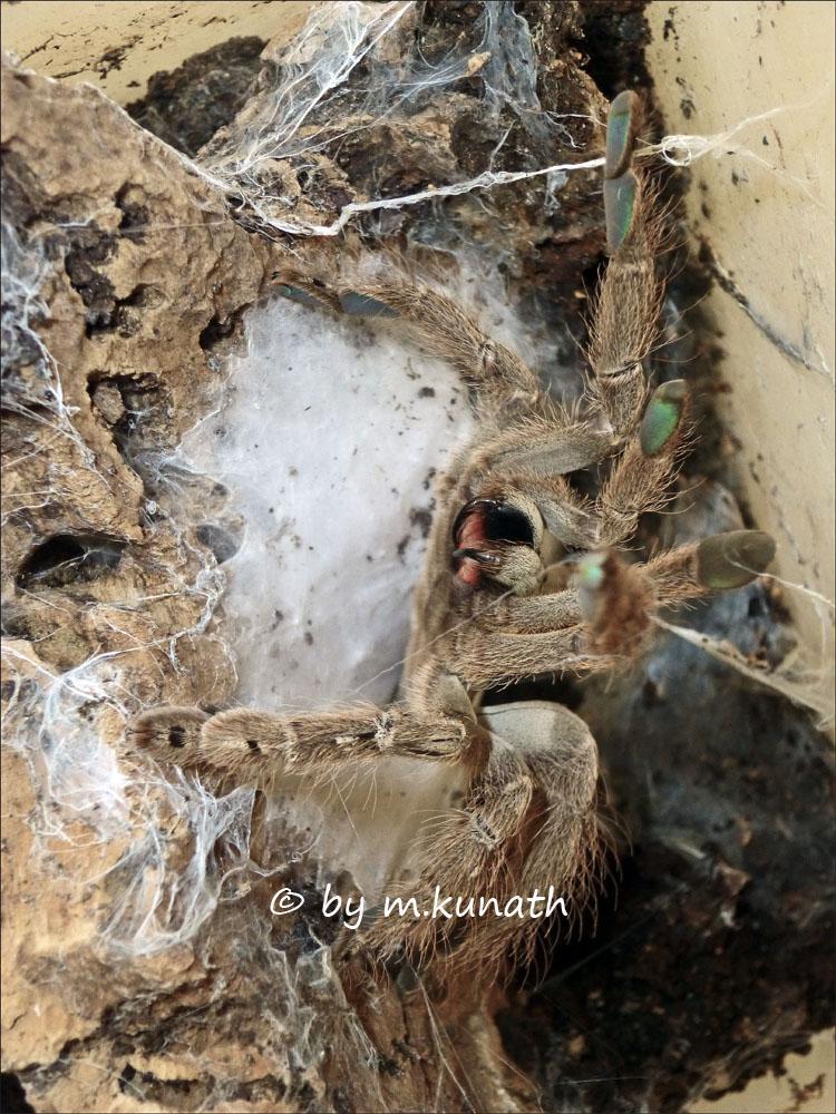 heteroscodra maculata kokon nachzucht und aufzucht