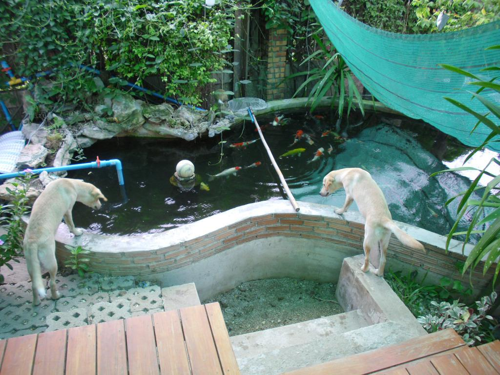 View topic my story of a koi pond for Koi pond next to pool
