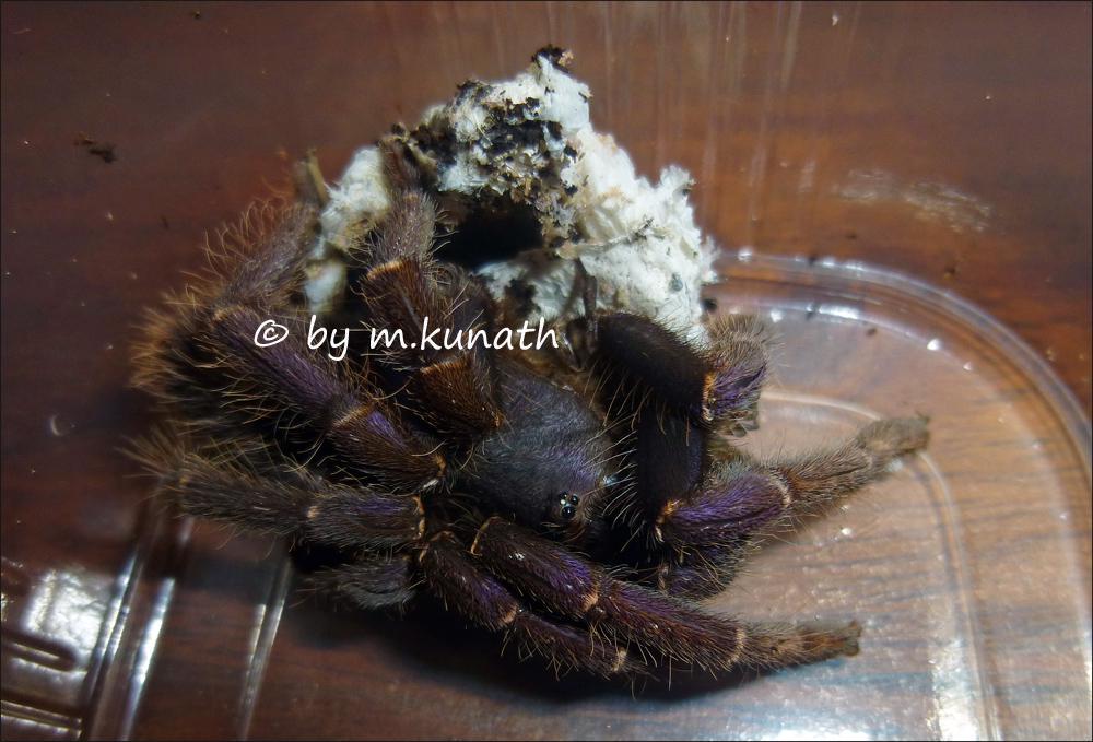 Psednocnemis Brachyramosa Nachzucht Und Aufzucht